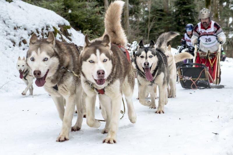 Todtmoos φυλών ελκήθρων σκυλιών στοκ φωτογραφίες
