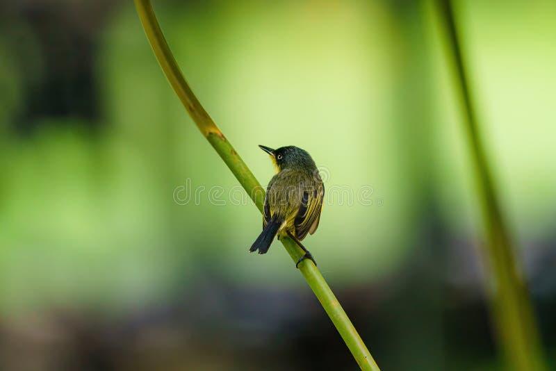 Tody-flycatcher (Todithellum cinereum)从肩上看#x27,在哥斯达黎加 免版税图库摄影