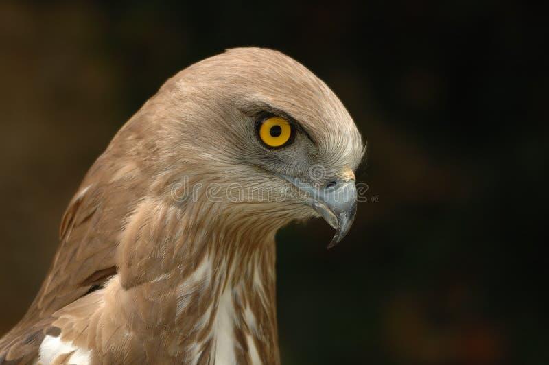 toed краткость gallicus орла circaetus стоковая фотография