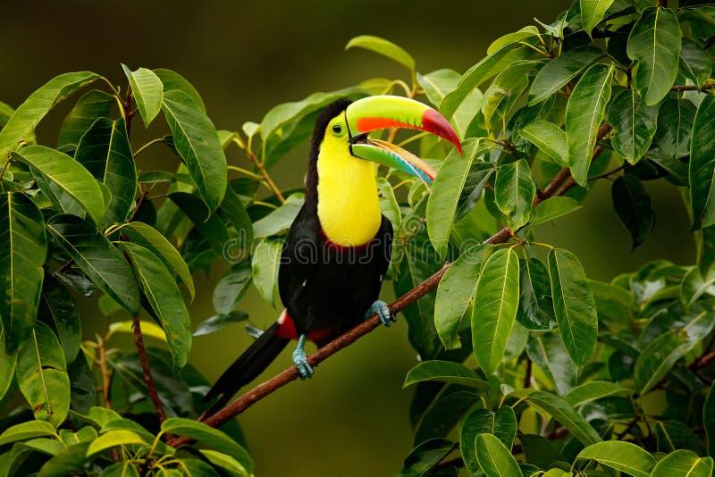 Toekanzitting op de tak in het bos, Boca Tapada, groene vegetatie, Costa Rica Aardreis in Midden-Amerika Kiel-rekening stock foto's