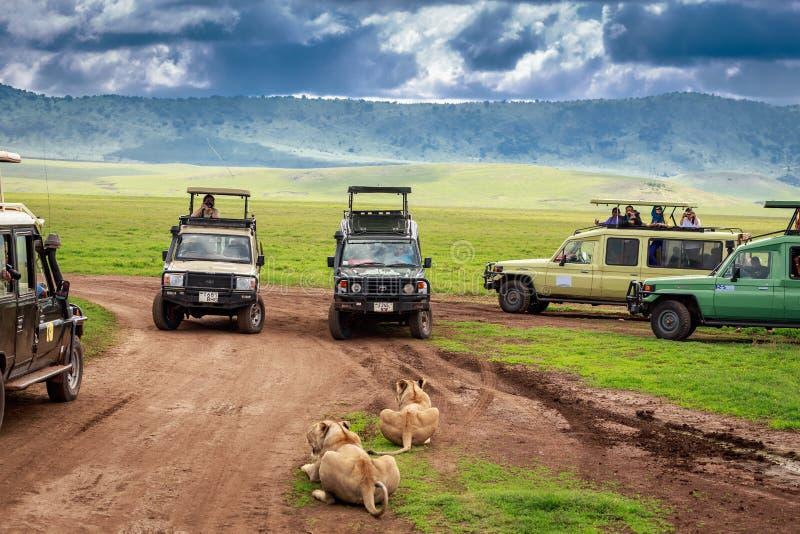 Toeristen die in Auto's op een groep leeuwinnen letten tijdens een typische dag van een safari op 2 Januari, 2014 in Ngorongoro-k royalty-vrije stock fotografie