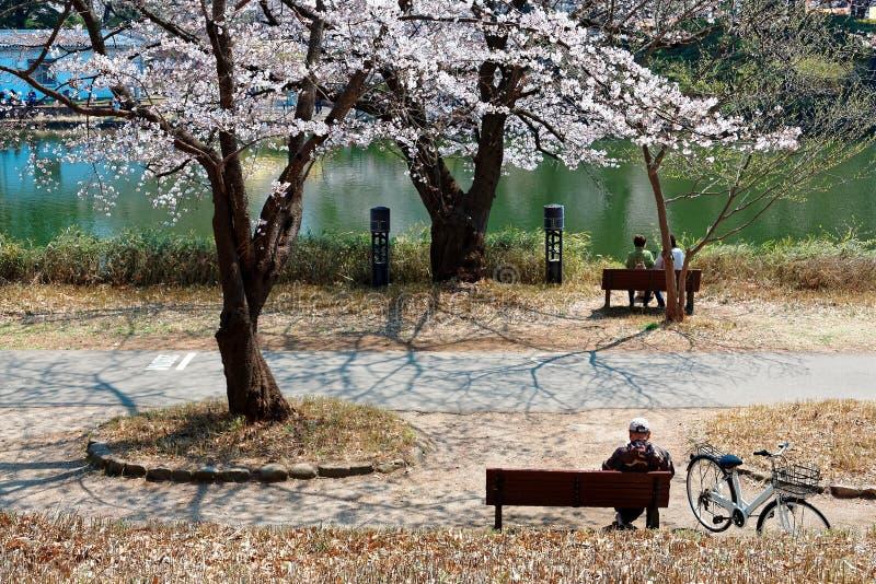 Toeristen die op de banken zitten en van de prettige zonneschijn genieten onder reusachtige kersenbloesem stock afbeelding