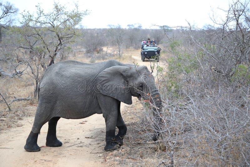 Toeristen die in safarivoertuig Afrikaanse struikolifant in het Nationale Park van Kruger, Zuid-Afrika waarnemen stock afbeelding