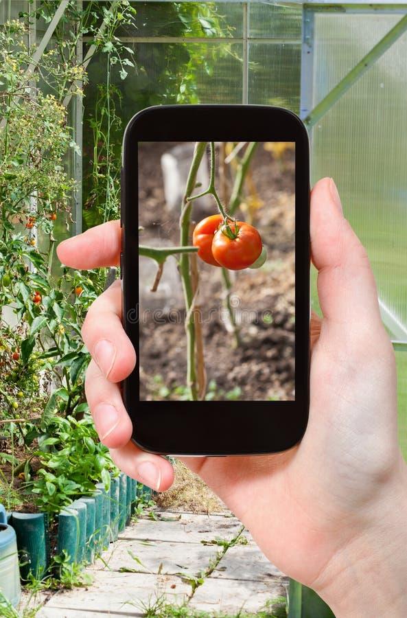 Toeristenfoto's van serre met tomaten royalty-vrije stock foto