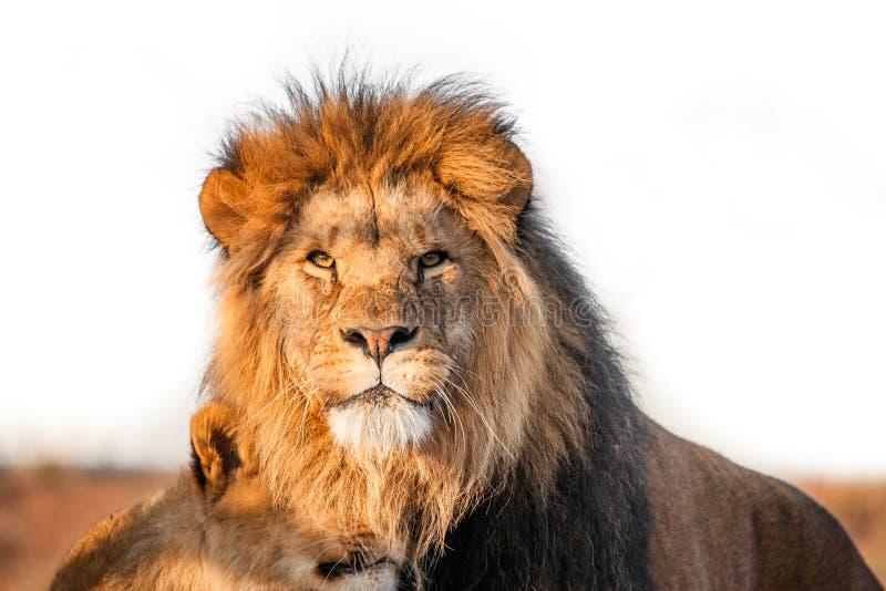 Togenther 2 львов на саванне стоковое фото