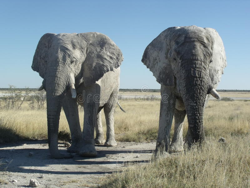 Two Etosha elephants showing strength stock photography