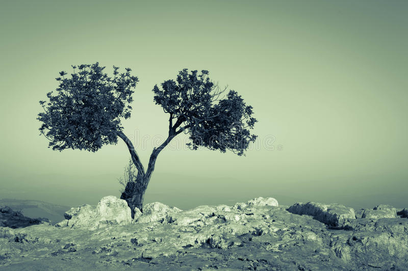 Together - twin tree solitaire scenario royalty free stock photo