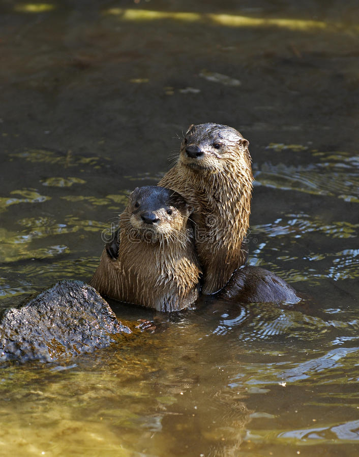 Togetherness. Two river otters together in water, one with arm around other royalty free stock images
