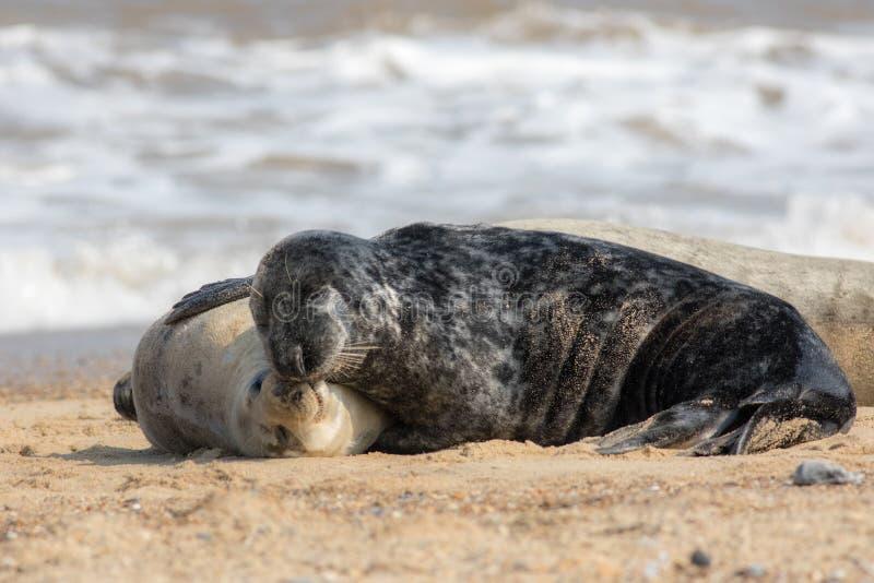 togetherness Animales en amor que abrazan Abrazo cariñoso de los sellos foto de archivo libre de regalías
