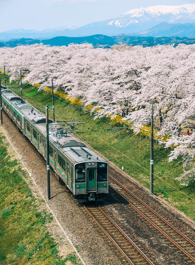 Free Tohoku Train With Full Bloom Of Sakura Stock Photos - 170274923