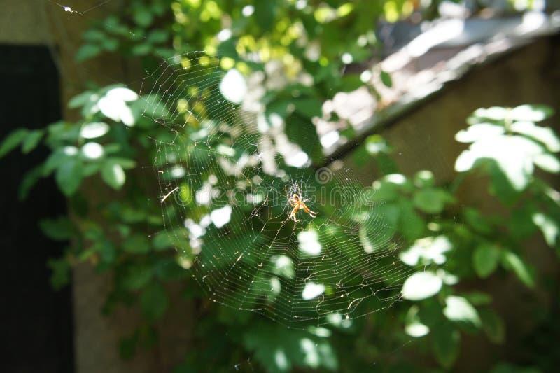 Toile d'araignée avec une araignée dans le jardin au soleil images stock