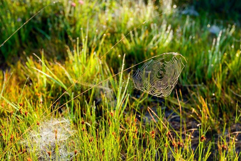 Toile d'araignée couverte de rosée balançant d'une lame d'herbe photo stock