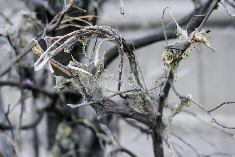 Toile d'araignée de mite de cerisier sur des branches de délabrement images stock
