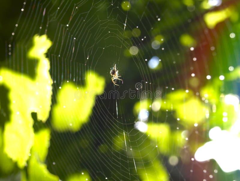 Toile d'araignée et araignée photo libre de droits