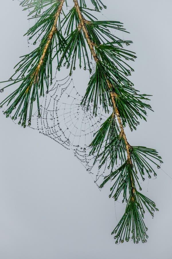 Toile d'araignée humide sur un pin photo libre de droits