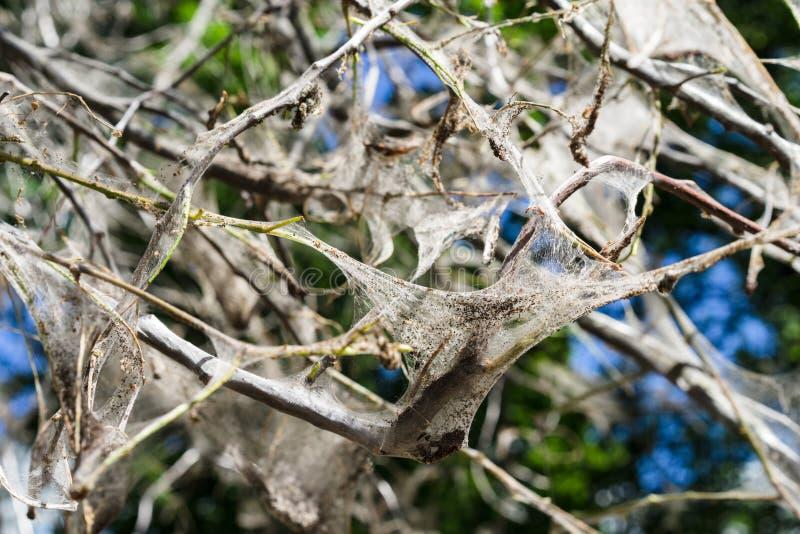 Toile d'araignée sur des branches d'arbre mite Yponomeutidae de cerise d'oiseau image stock