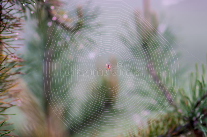 Toile d'araignée sur le pin photos stock