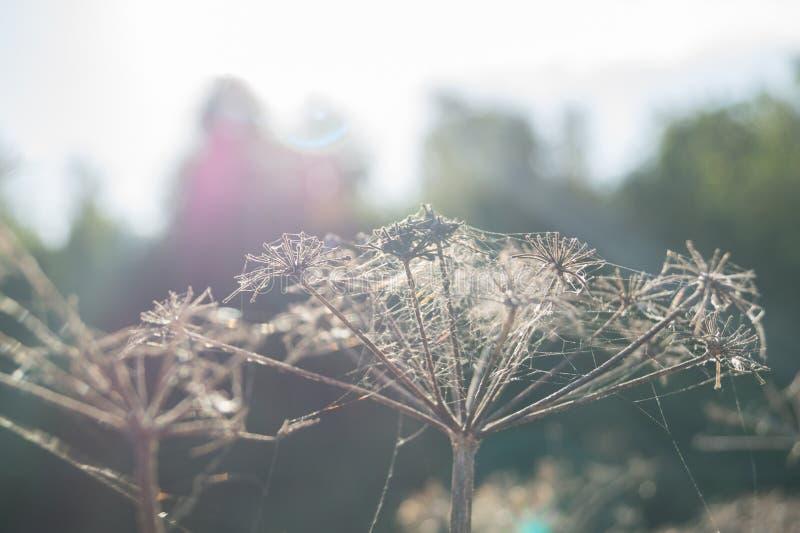 Toile d'araignée sur une herbe sèche photos stock