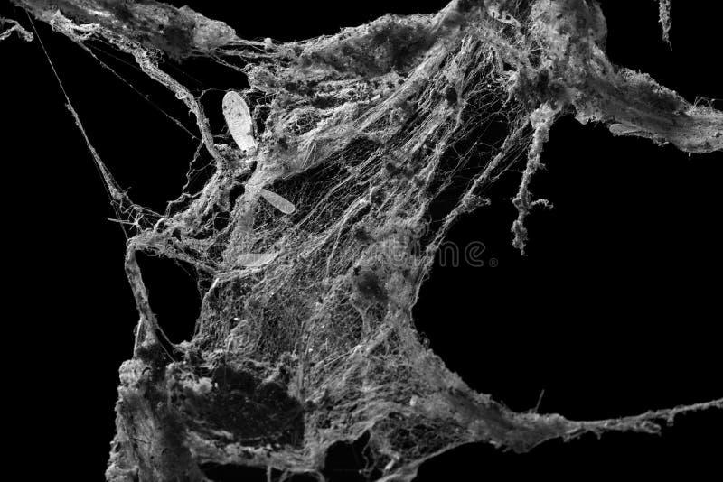 Toile de toile d'araignée ou d'araignée d'isolement sur le fond noir photo libre de droits