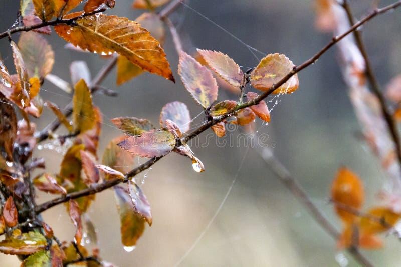 Toiles abstraites de rosée et d'araignée de feuilles d'automne photo libre de droits