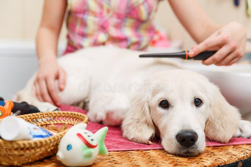 Toilettage de fille de son chien à la maison images stock