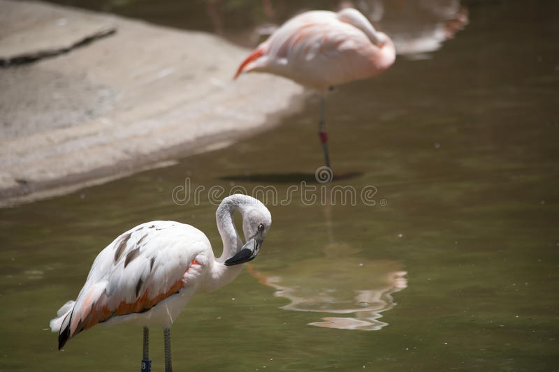 Toilettage de flamants photo stock