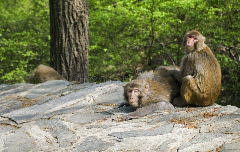 Toilettage de singes images libres de droits