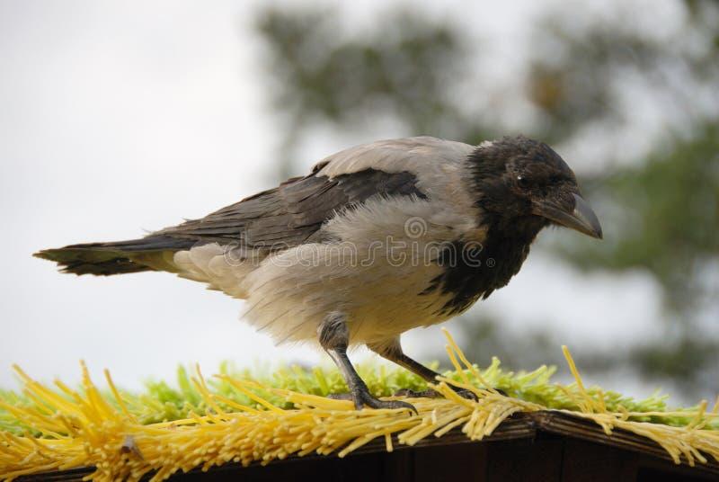 toit de corbeau photographie stock libre de droits