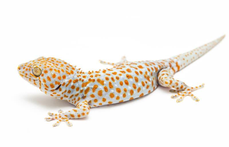 Tokay Gecko Ταϊλάνδη στοκ εικόνα με δικαίωμα ελεύθερης χρήσης