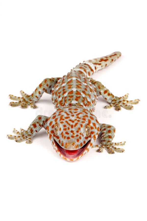 Download Tokay Gecko stock image. Image of animal, spots, eyes - 4117677