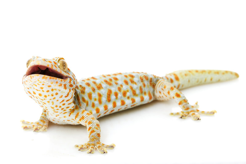 Tokay Gecko stockfoto