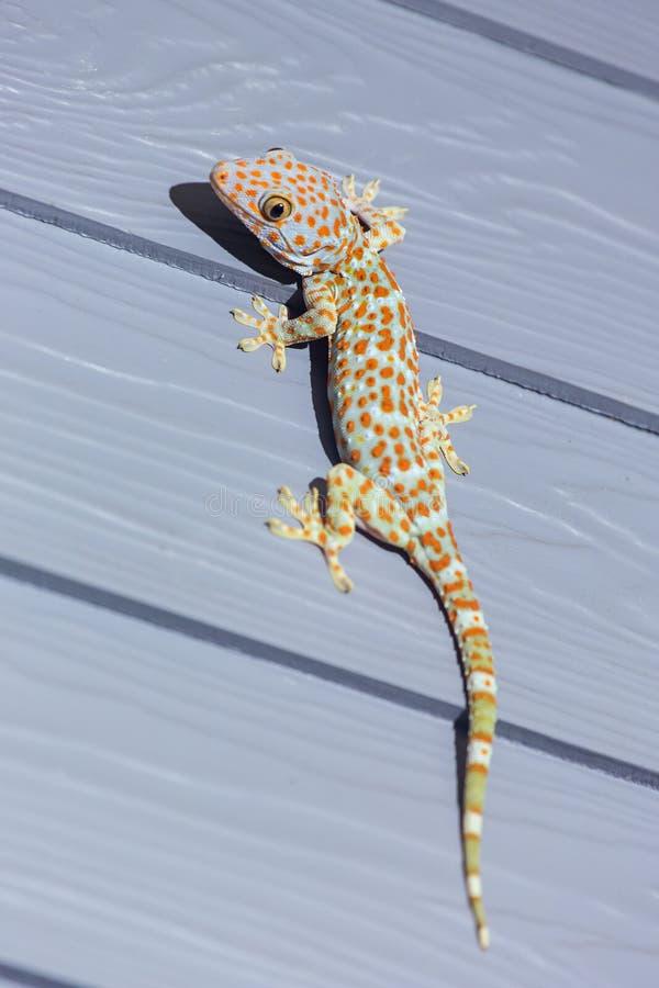 Tokay-Gecko auf hölzerner Wand lizenzfreies stockfoto