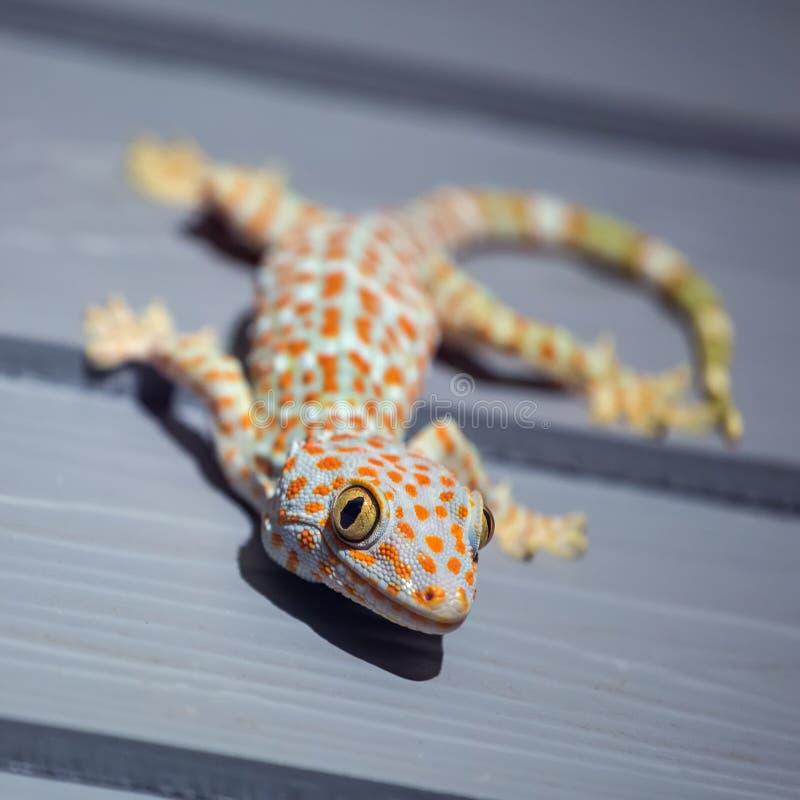 Tokay-Gecko auf hölzerner Wand lizenzfreie stockfotografie