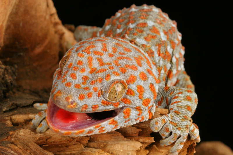Download Tokay Gecko (Gecko gecko) stock photo. Image of colorful - 4179692