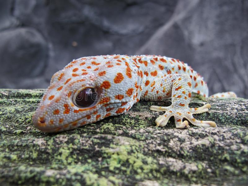 Tokay Gecko Gecko Gecko Close Up View royalty free stock photos