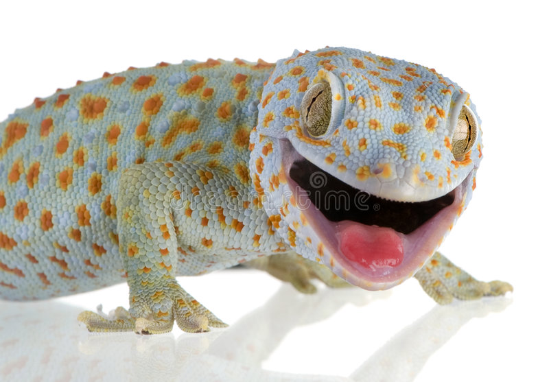 Tokay gecko - Gekko gecko. In front of a white background stock photos