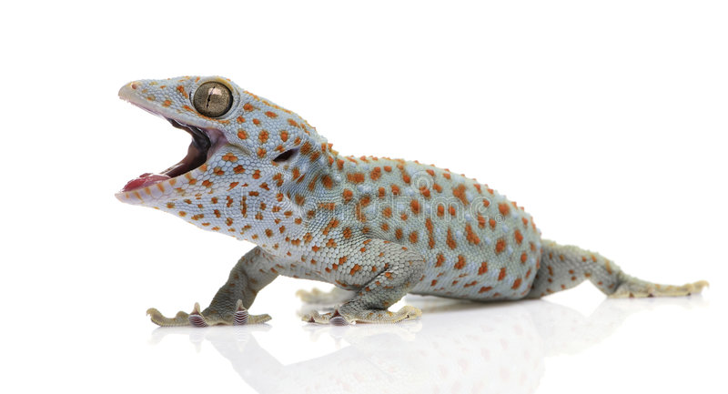 Tokay gecko - Gekko gecko. In front of a white background stock images