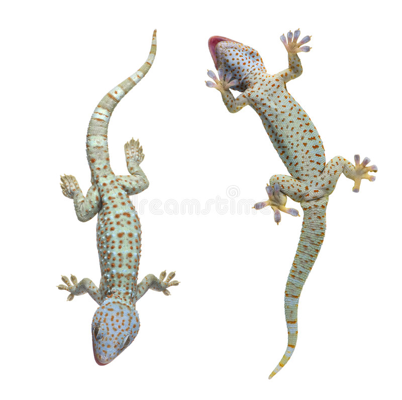 Tokay gecko - Gekko gecko. In front of a white background stock image