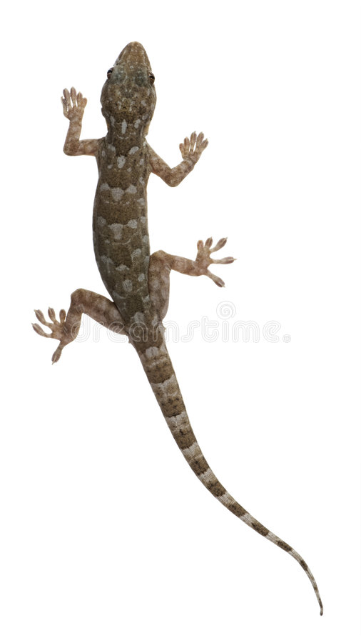Tokay gecko - Gekko gecko. In front of a white background royalty free stock photos