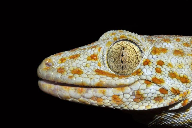 Tokay-Gecko, Gekko SP, Gekkonidae, Trishna, Tripura, Indien lizenzfreies stockbild