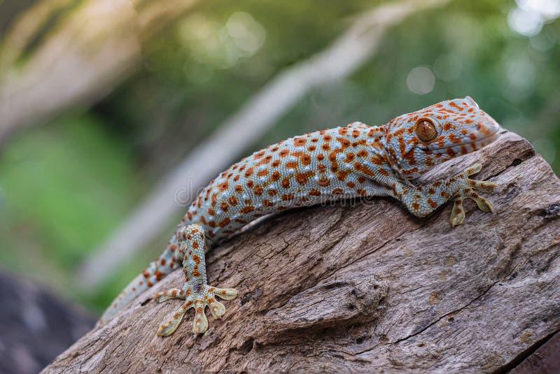 Tokay Gecko stockbild