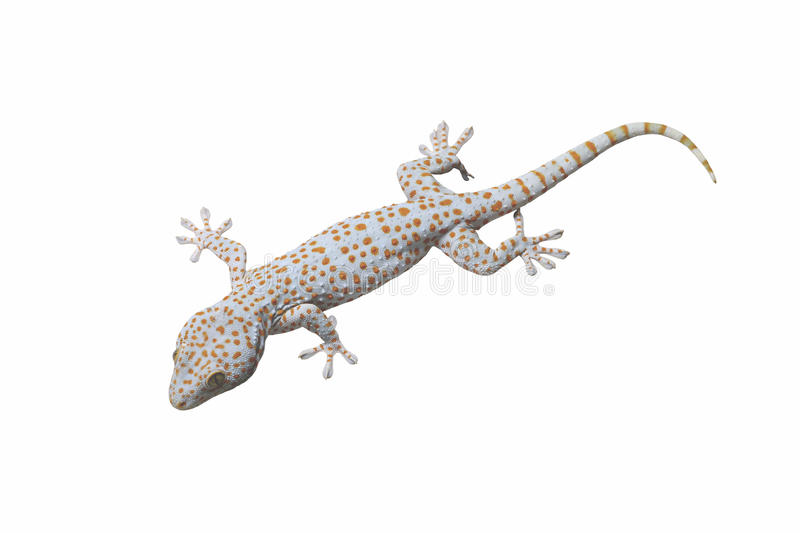 Tokay Gecko isolated. Tokay Gecko isolated on white background stock images