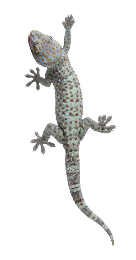 tokay geckogekko arkivbilder