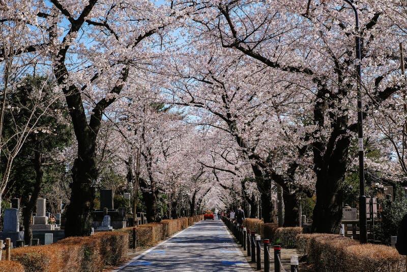 TOKIO, JAPÓN - 3 DE ABRIL DE 2019: Flor de cerezo de Aoyama Cemetery en Tokio, un punto popular durante estación de primavera imagen de archivo