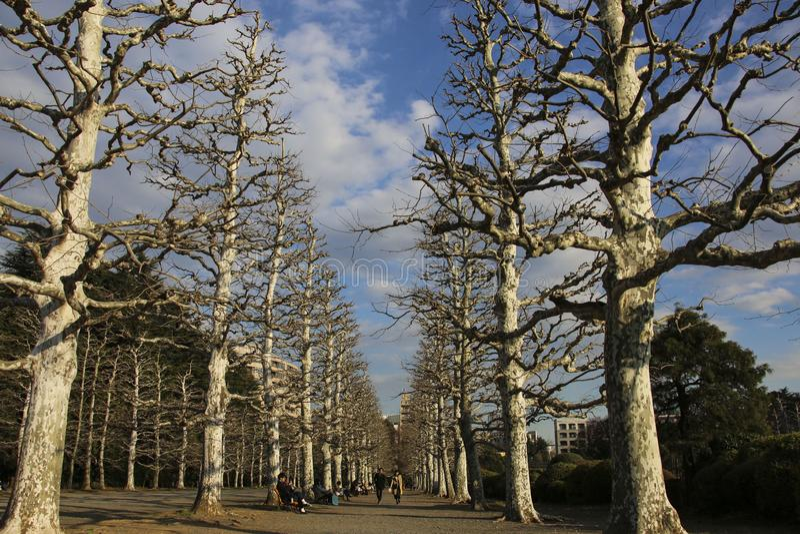 TOKIO JAPONIA, MARZEC, - 24, 2019: Aleja ginkgo drzewa w wczesnej wio?nie w Shinjuku Gyoen obywatela ogr?dzie zdjęcia stock