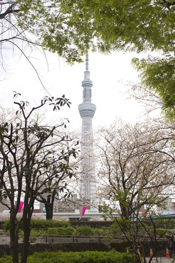 Tokio nieba drzewo w wiośnie z Czereśniowego okwitnięcia drzewami obraz stock