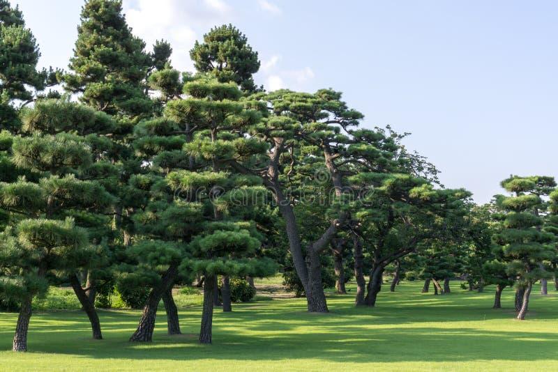 Tokio pałac cesarska sosna zdjęcia royalty free
