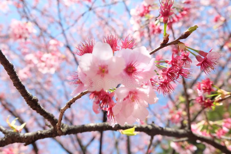 Tokio podwórka Sakura kwitnienie obrazy stock