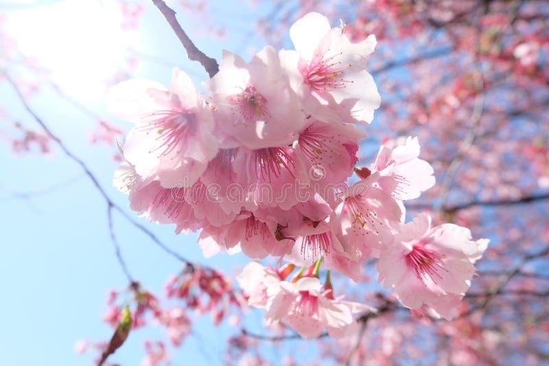 Tokio podwórka Sakura kwitnienie zdjęcie royalty free