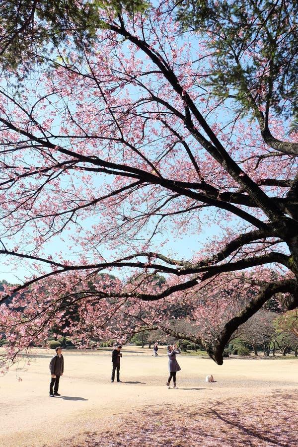 Tokio podwórka Sakura kwitnienie obraz royalty free